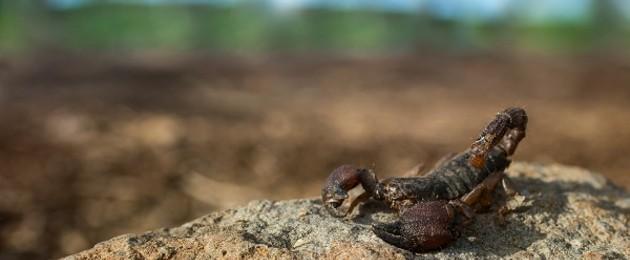 soñar con escorpión